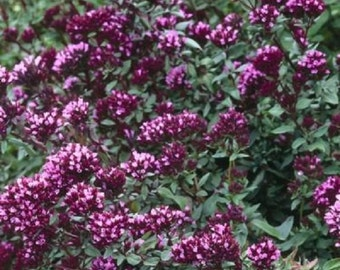 25+ Ornamental Oregano / Flower Seeds