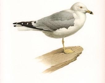 JF Lansdowne Print Book Plate Art, Ring-Billed Gull