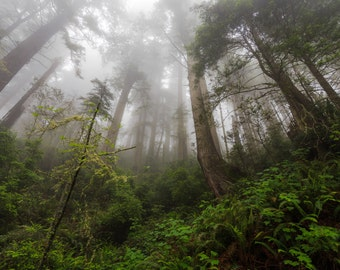 California Redwoods Photograph, Redwood Tree, Foggy Forest, Landscape Photography, Damnation Creek Trail, Del Norte, Jedediah Smith, Mist