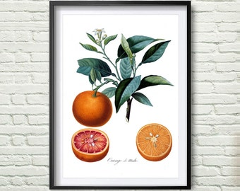 3 Colors Background, Antique botanical print, Orange Print, illustration digital download, Botanical Vintage Art Prints, Vintage poster *6*