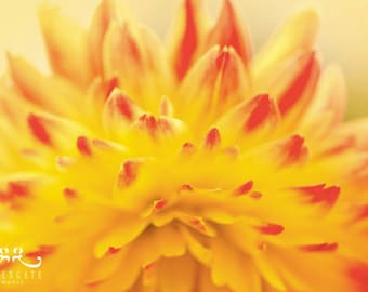 Dahlia - Photo print, flower photography, spring, botanical, yellow, red, abstract, petals