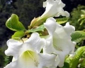 Easter Lily Vine-Heralds Trumpet * 10 Seeds