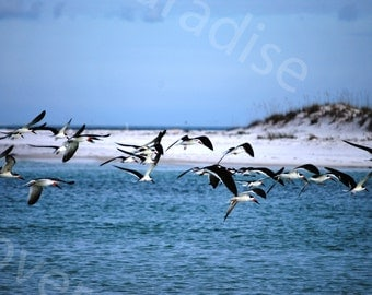 SALE Black Skimmer Photograph // Black Skimmers Flying over Beach Photograph Print // Beach Photograph