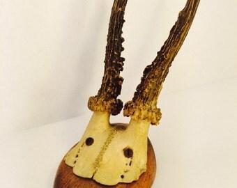Vintage Mounted European Row Deer Antlers