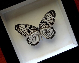 Real Idea Leuconoe Framed - Taxidermy - Home Decoration - Collectibles