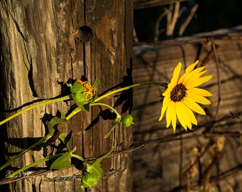 Nebraska Sunflower in Bloom along Rustic Wooden Post and nails.  Fine Art- Wall Decor- Scenic Landscape and Macro Photography