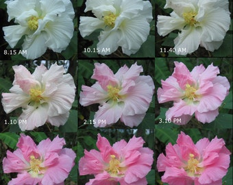Confederate Rose (Hibiscus mutabilis) Color Changing Spectacular Blooms AKA Cotton Rosemallow 50+ Viable Organic Seeds