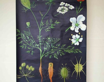 Vintage German Botanical School Wall Map Pull Down Chart of the Wild Carrot, Queen Anne's and Bishop's Lace (Daucus carota) Botany, Biology