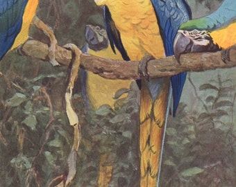 Blue yellow macaw original 1922 art print - Natural history, wall decor, parrot - 94 years old German antique lithograph illustration (C138)
