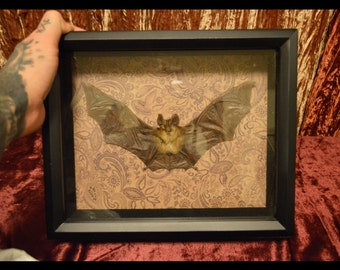 Bat Taxidermy Mount- Real, unusual oddities!