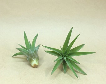 Tillandsia Velutina Air Plant // Hello Tilly Airplant