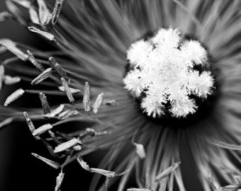 Black and White Petals Photograph