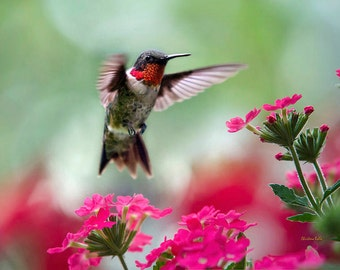 Colorful Hummingbird Art, Fine Art Photography, Hummingbird Print, Hummingbird Photography, Pink and Green Wall Art Decor, Gifts for Her