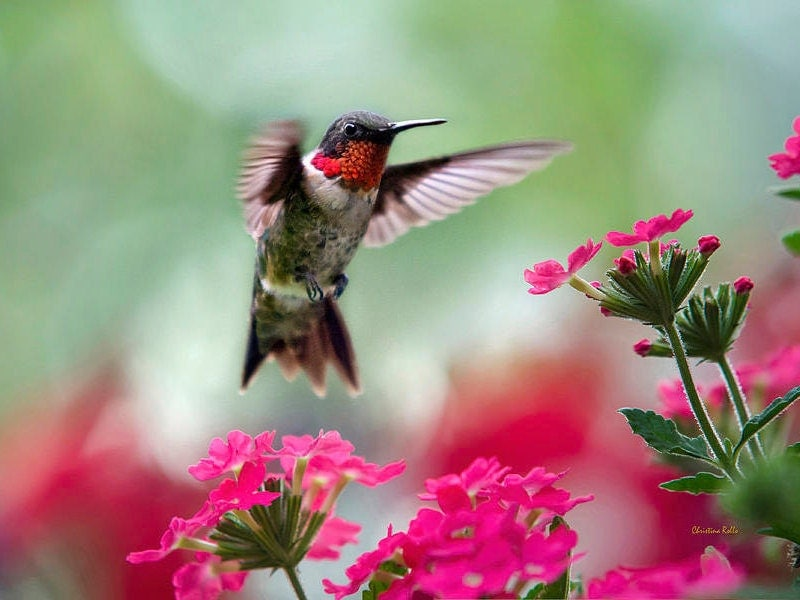 Colorful hummingbirds flying - photo#28