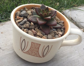 Small Potted Succulent.