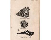 1812 MARINE WORMS PRINT original antique sea life ocean engraving - twined complicated & spiral serpula