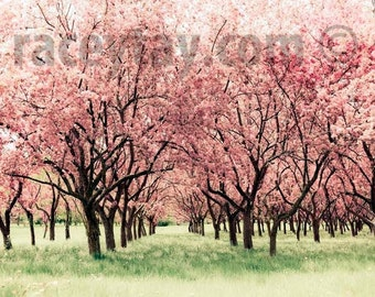 Photo of Cherry Blossoms  in Pink & Green, Baby Girl Nursery Decor, Nature Photography Large Wall Art
