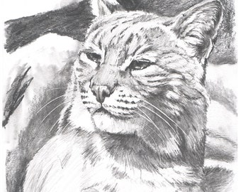 Sunning Bobcat - Open edition print of an original drawing (fits 11x14 frame)