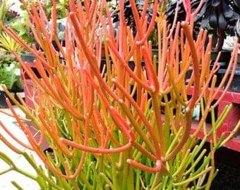 Sticks on Fire Living Succulent Cuttings