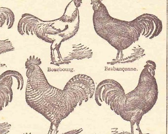 Beautiful Antique Print Encylopedia Page 1920s Engraved Ilustrations Chickens French Hens scrapbooking, collage