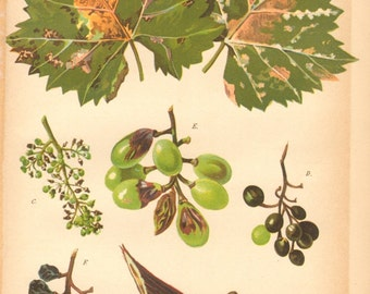 1896 Plant Pathogen, Grapevine Downy Mildew Original Antique Chromolithograph