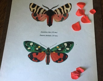 Vintage Color Lithograph Print- Hebe Tiger Moth & Scarlet Tiger Moth- Natural History Book Plate