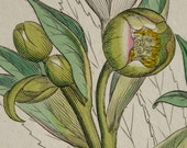 1799 Antique print of a STINKING HELLEBORE PLANT. Helleborus foetidus. Dungwort. Detterwort. Bear's foot. 217 years old botanical engraving