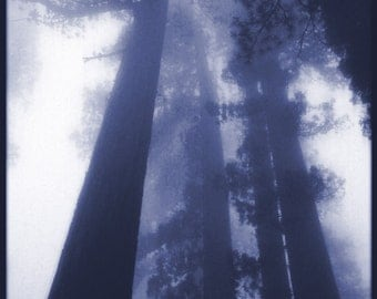 Abstract Forest photo| Tree and Fog Photo |  Blue Sequoia Woodland  | Sequoia Tree Art | Mariposa Grove  | Yosemite Park  | CaliforniaTrees