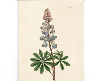 Bluebonnet Pull Down Chart Vintage Reproduction. Botanical Print Lupinus Texas State Flower from William Curtis Magazine poster -CP278cv