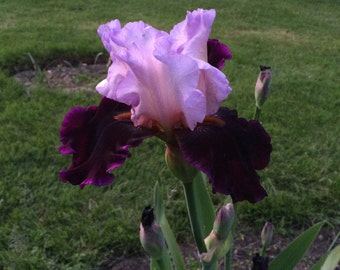 "Tall Bearded Iris ""BRAZILIAN HOLIDAY"" Rhizome  Pre-Sale  Perennial Plant"