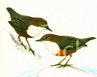1961 White-throated dipper print, Norvay's national bird, vintage Bird Print, illustration, Ornithology