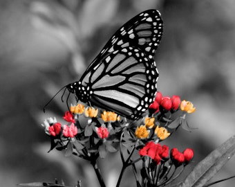 monarch butterfly in black and white with color