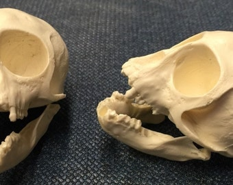 Vervet monkey skull replica