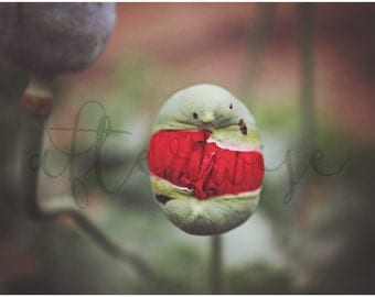 Emerging Poppy Flower Photography. Poppy Print. Flower Print. Botanical Print. Flower Photo. Poppy Photography. Fine Art Print.