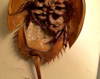Atlantic Horseshoe Crab Shell with Tail and Legs Intact Naturally Collected from Cape Cod Bay Full Molt Medium Size 10-14 Inches Long