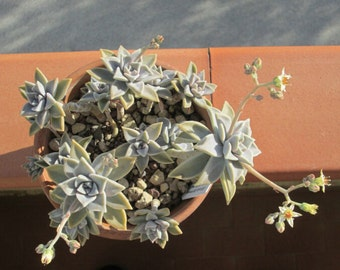 Garden Succulent Plants 10 Seeds Graptopetalum paraguayense,Mexican Ghost Plant,MOTHER OF PEARL,succulent Seeds