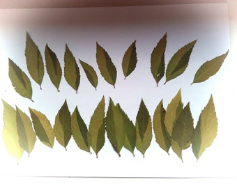 Pressed leaves, green leaves, real pressed leaves for craft, botanical supplies
