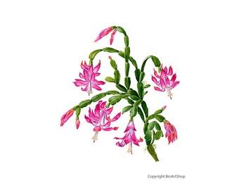 christmas cactus (zygocactus truncatus)