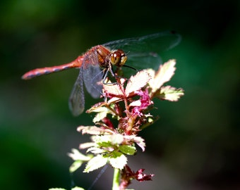Red Dragonfly 8x10 print