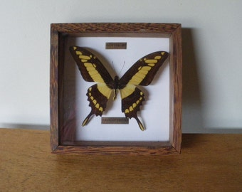 Framework naturalized Butterfly yellow and Brown - taxidermy 90 1990 vintage years / Guyana / Papilio Thoas
