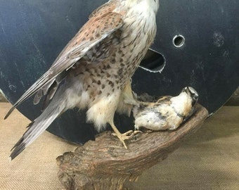 Basil, kestrel taxidermy stuffed bird with prey