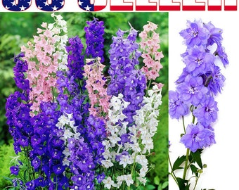 200+ Larkspur Consolida Ambigua Seeds Blue Purple White Pink Flowers - USA
