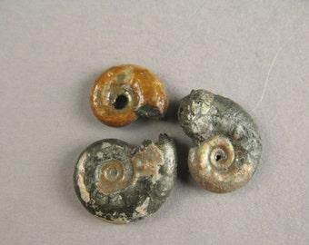 Ammonite Fossil Kosmoceras