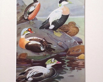 1968 Vintage Duck print -  matted and ready to frame - 14 x 11 inches