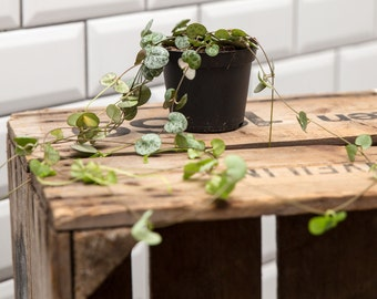 String of Hearts (Ceropegia)  Houseplant