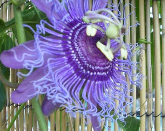 PASSION FLOWER TINCTURE