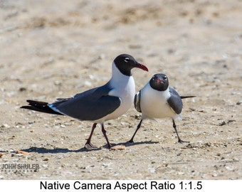 Laughing Gull Pair: Bird art photography prints for home or office wall decor.
