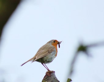 Little Red Robin
