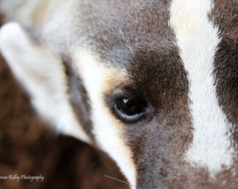 American Badger Beauty