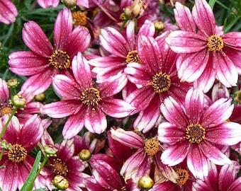 2 Berry Chiffon - Coreopsis Plants - Perennial